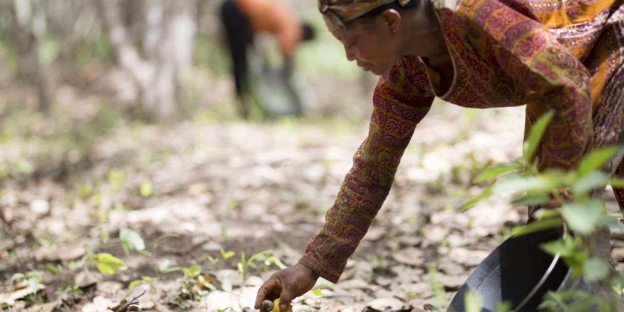 Olam Food Ingredients to scale up sustainability in cashew supply chains